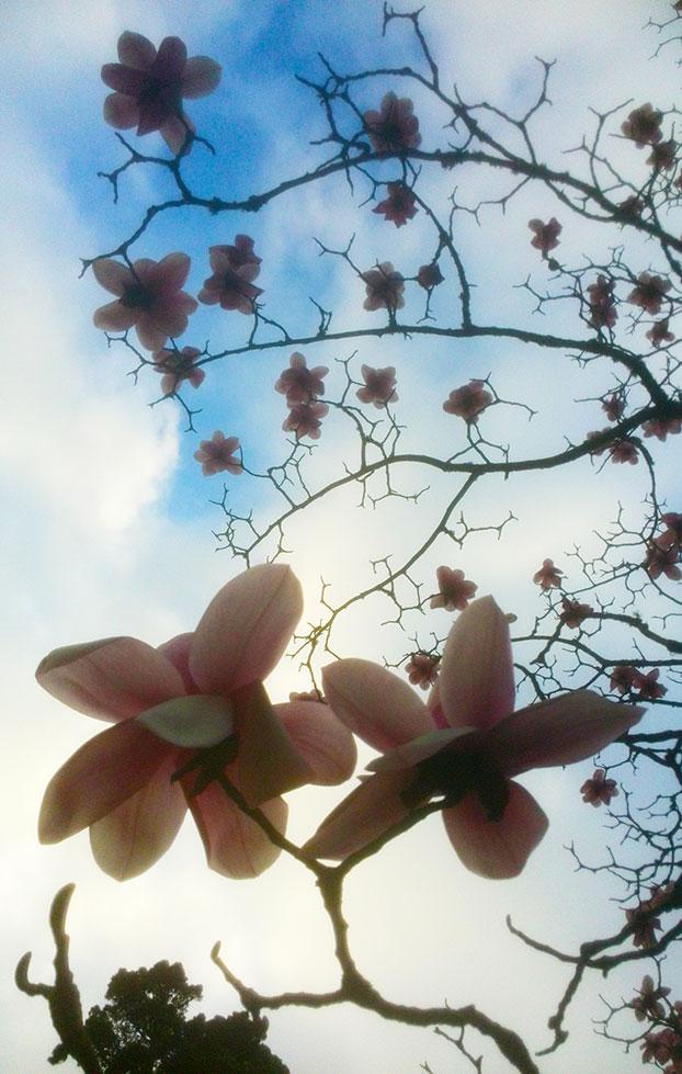 magnolias sky 2